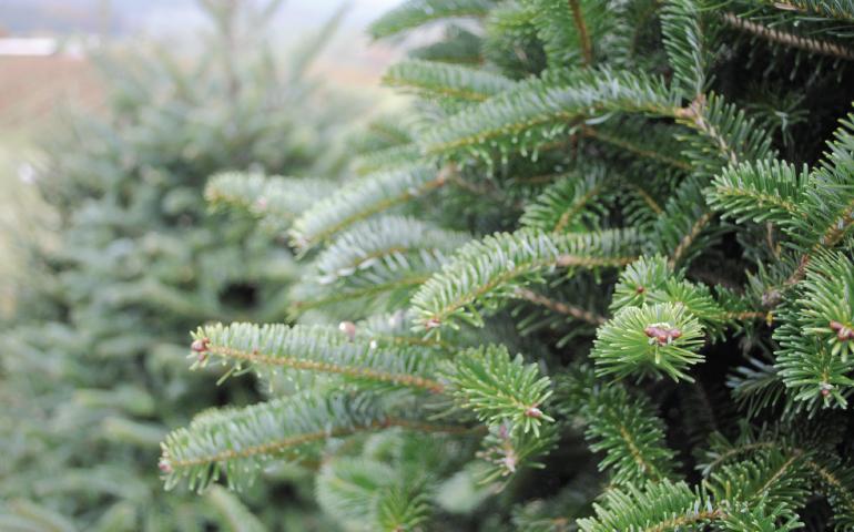 pick your own christmas tree edmonton